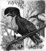 Umbrella bird