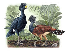 Great Curassows