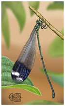 Giant damselfly